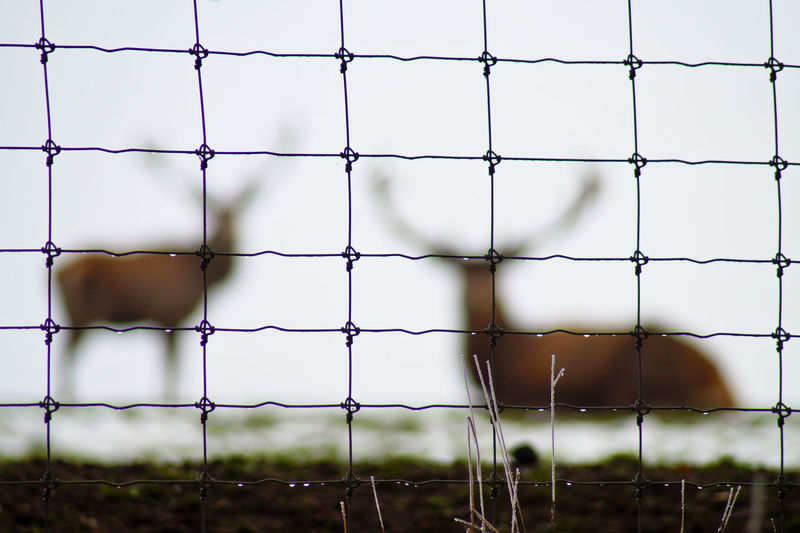 Close-Up Of Wet Fence Against Stags On Field