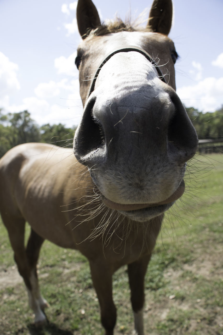 animal themes, mammal, domestic, domestic animals, animal, livestock, pets, horse, one animal, field, animal wildlife, vertebrate, land, day, working animal, nature, herbivorous, focus on foreground, standing, portrait, outdoors, no people, animal head, animal mouth, snout, animal nose