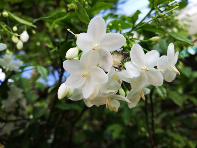 Flower White Color Petal Nature Beauty In Nature Flower Head Plant Blossom ดอกไม้ (Flower) ดอกไม้ White Flower