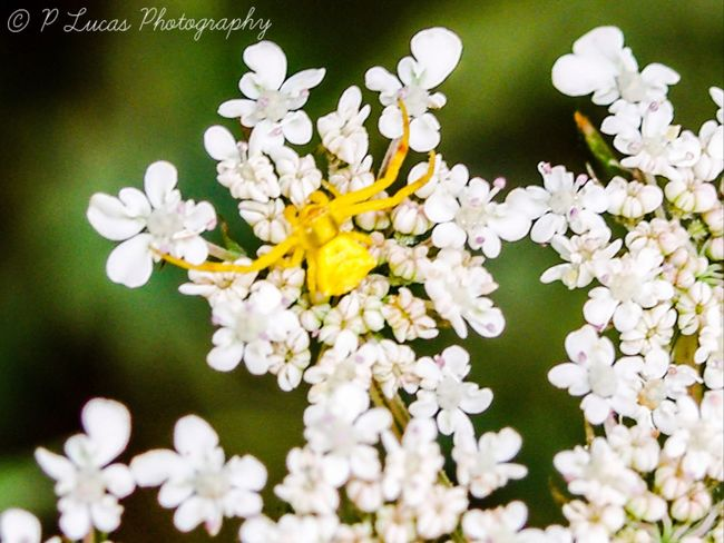 Thomisusonustus Crab Spider Flower Spider Wild Carrot Flower Fragility Petal Nature White Color Beauty In Nature Freshness Growth No People Flower Head Plant Close-up Blooming Day Outdoors Arachnid EyeEm Best Shots EyeEm Nature Lover