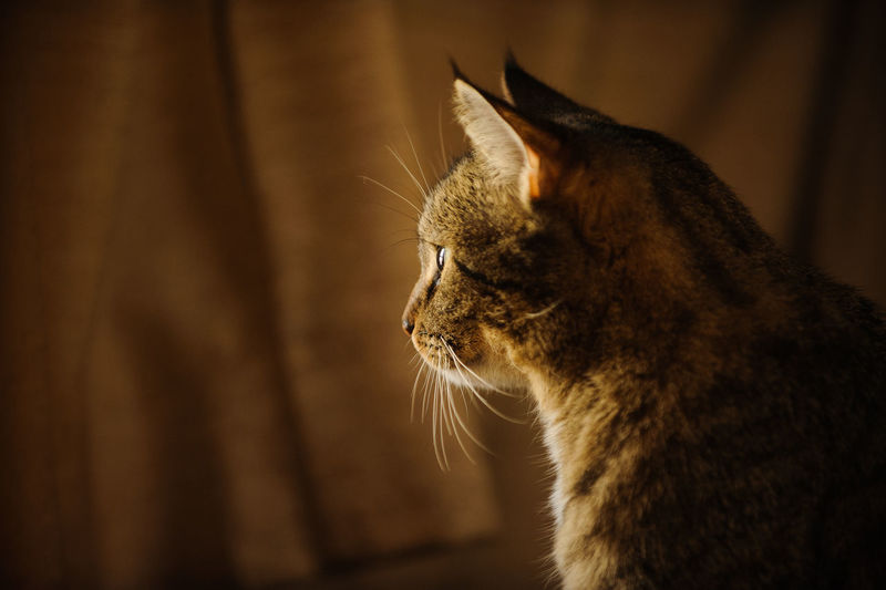 Close-up of tabby cat looking away while standing at home