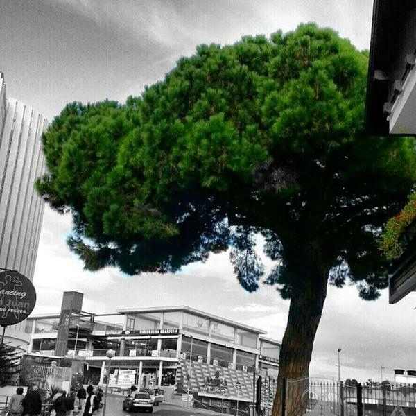 Pi gros Lloretdemar Igersgirona Catalunyaexperiencie Natura arbresllegendaris