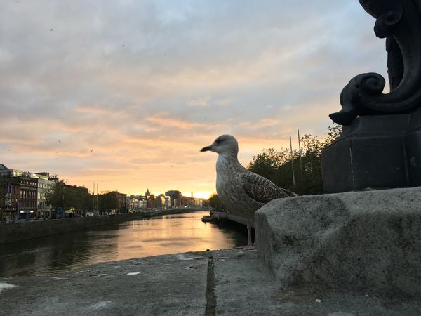 Hey Seagull , Hey Dublin! Bird Animal Themes One Animal Animals In The Wild (null)Built Structure Sky (null)Water Sunset (null)City Cloud - Sky No People Nature Day Outdoors