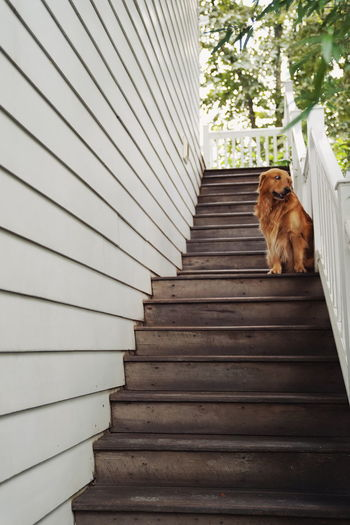 golden retriever on stair Animal Themes EyeEm Best Shots EyeEm Selects Dog EyeEm Nature Lover Pets Dog Architecture Steps And Staircases Steps Golden Retriever Retriever Labrador Retriever Purebred Dog Staircase Black Labrador