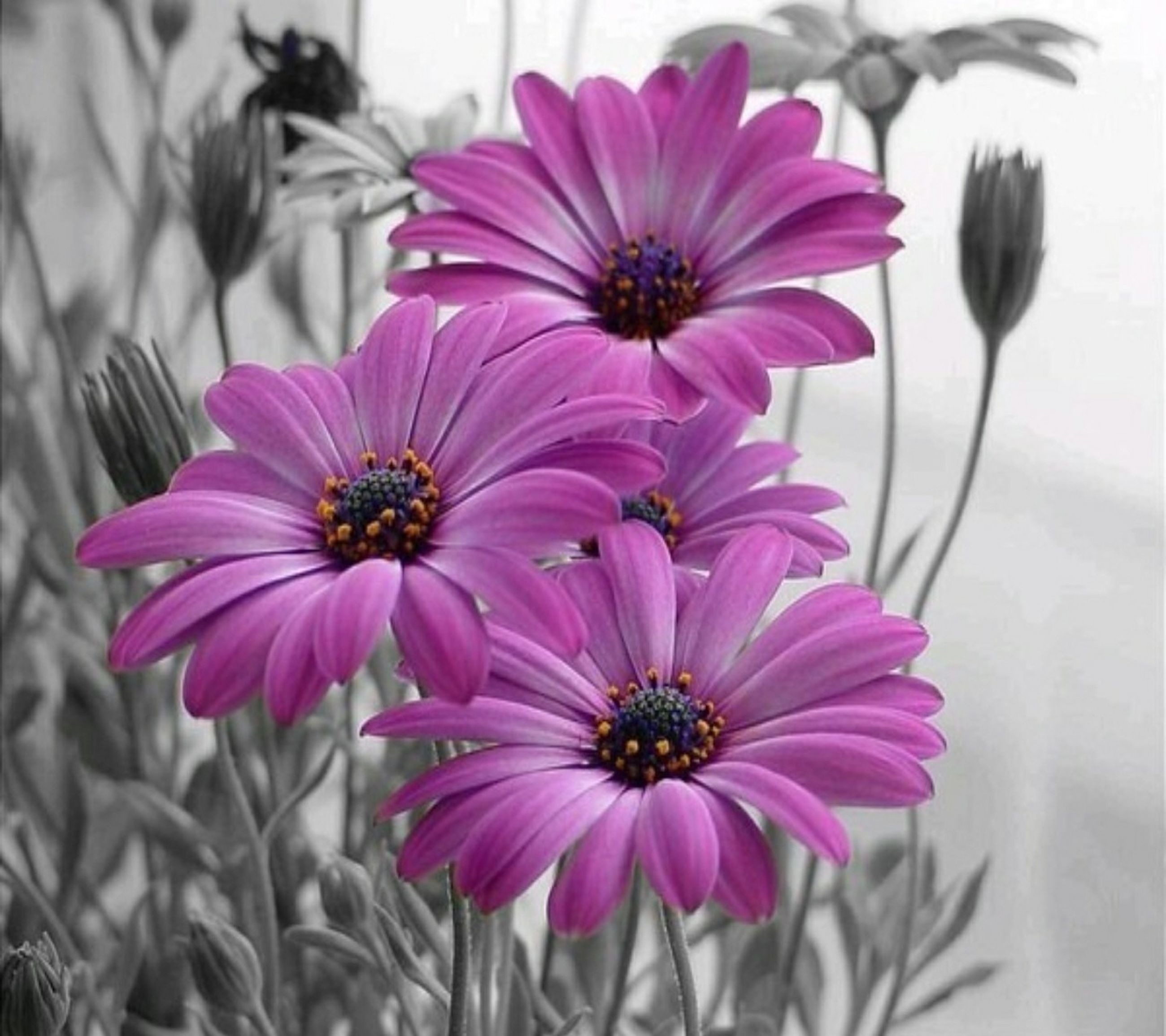 flower, freshness, petal, fragility, flower head, pink color, focus on foreground, close-up, beauty in nature, pollen, blooming, growth, nature, plant, indoors, purple, in bloom, day, no people, pink
