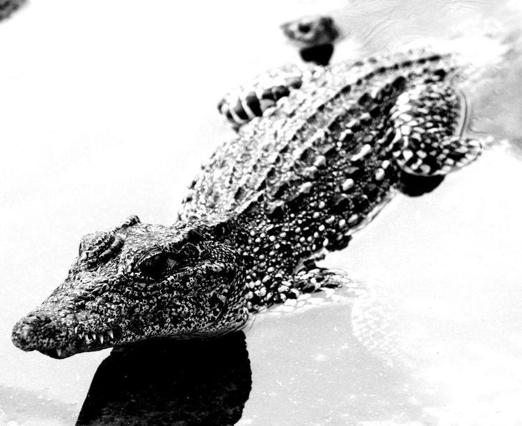 Cuba Collection Animal Themes Animal Wildlife Art Crocodile Nature One Animal Reptile Ysa Ysa Art