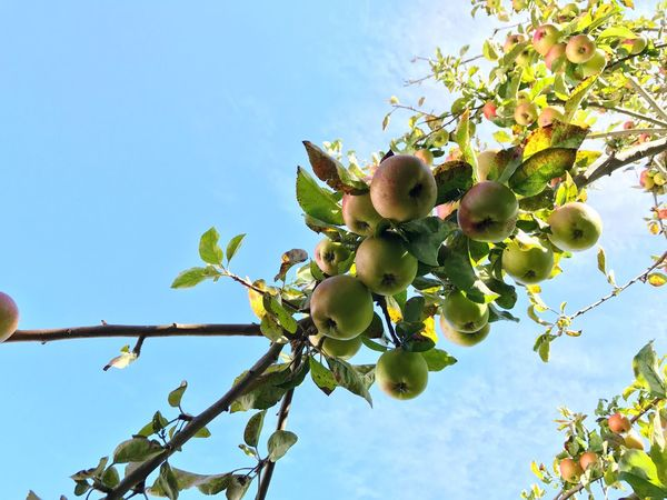 Fruit Apple Tree Apple - Fruit Food And Drink Growth Low Angle View Food Tree Healthy Eating Day Leaf Nature Green Color Freshness No People Outdoors Plant Branch Beauty In Nature Sky Close-up