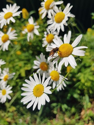 Close-up of insect on white daisy flowers