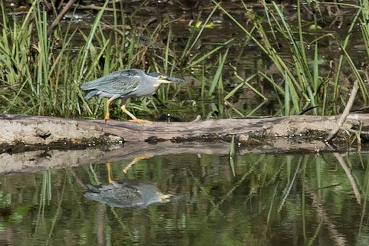 Heron Garcita Azulada Animal Wildlife Bird Photography Avesargentinas NikonD5500 Garzas Misiones, Argentina Garupa, Misiones Heron Blue