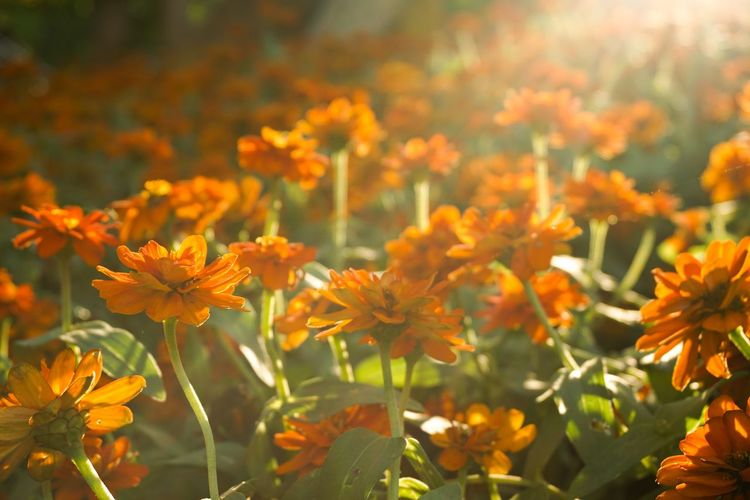 Light Sunlight Zinnia  Zinnia Angustifolia Beauty In Nature Bloom Blooming Blooming Flower Blossom Close-up Day Flower Flower Head Fragility Freshness Growth Narrowleaf Zinnia Nature No People Orange Color Outdoors Petal Plant