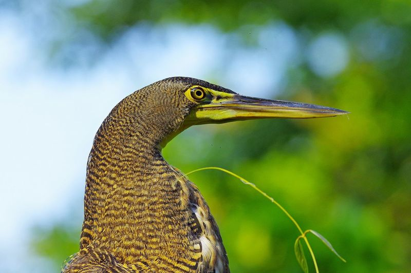 Avetigre Mejicana Bare-throated Tiger-Heron Onoré Du Mexique Tigrisoma Mexicanum Animal Themes Animal Wildlife Animals In The Wild Beauty In Nature Bird Nature One Animal Outdoors