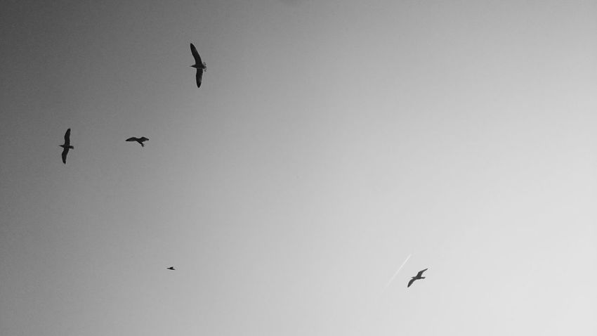 Bird Seagulls Flying Animal Themes Sky Black & White VSCO Izmit