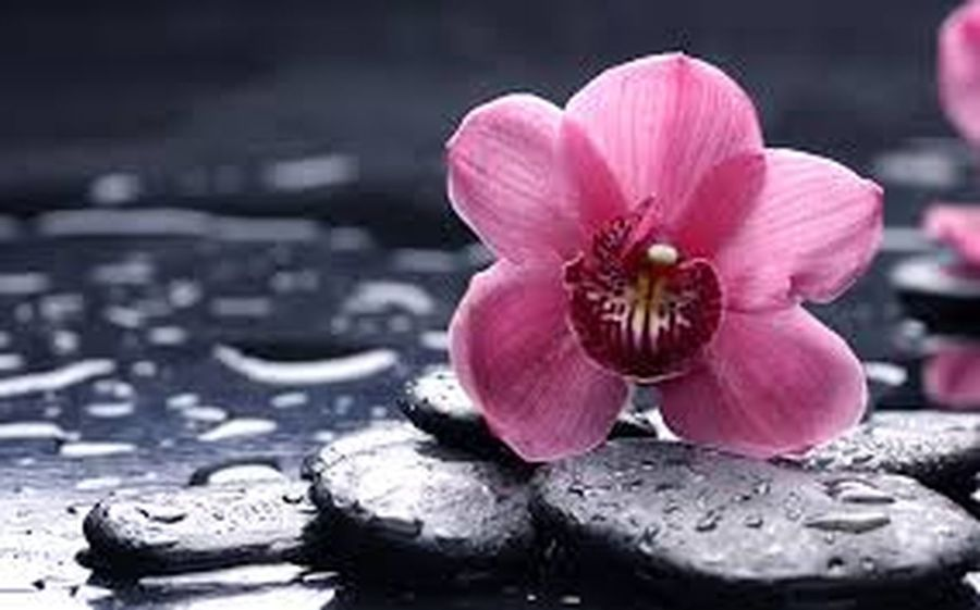Pink Color Flower Freshness Flower Head Close-up Petal Fragility Single Flower Beauty In Nature Focus On Foreground Nature Growth Pink Day Springtime Surface Level Tranquility No People Blossom Botany