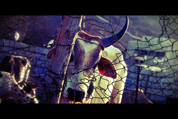 Boeuf Cornes Animal Cow