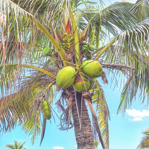 Coconuts Tree Fruit Palm Tree Low Angle View Food And Drink Growth Day Nature Green Color Branch Sky No People Tree Trunk Leaf Food Healthy Eating Outdoors Banana Tree Coconut Beauty In Nature Neon Life