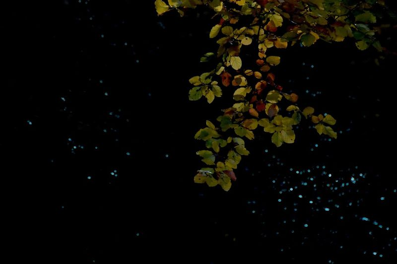 Stars Wallpaper Nature No People Growth Plant Plant Part Beauty In Nature Night Leaf Outdoors Close-up Freshness Tree Branch Black Background
