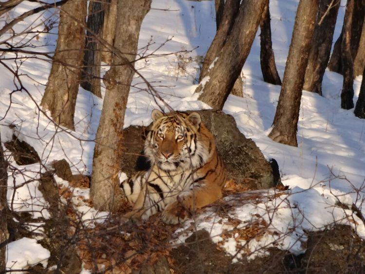 Tiger Safaripark Vladivostok Shkotovo