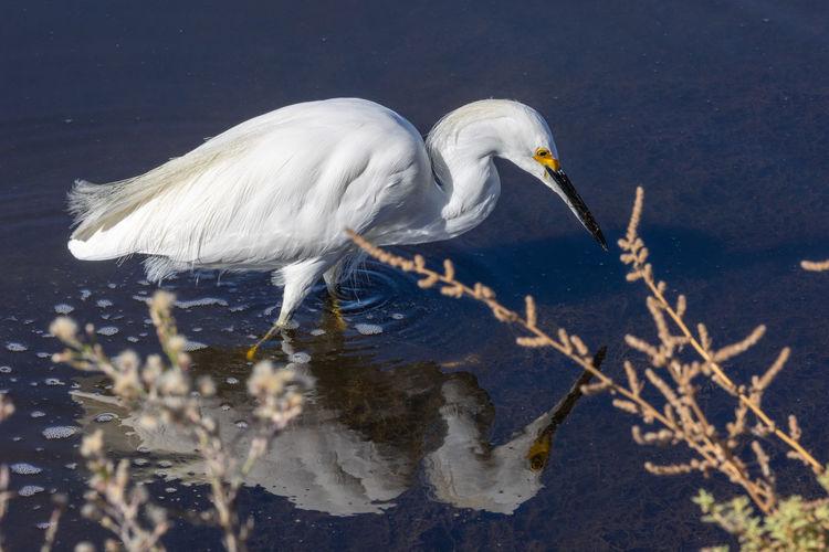 Egret on a lunch hunt