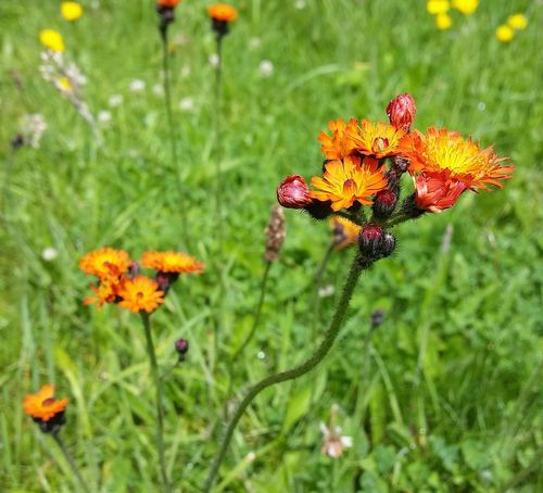 Samsung Galaxy S5 Beauty In Nature West Wales No People Outdoors Pembrokeshire Wales Nature Flower Flower Head Flowers Hawkweed United Kingdom