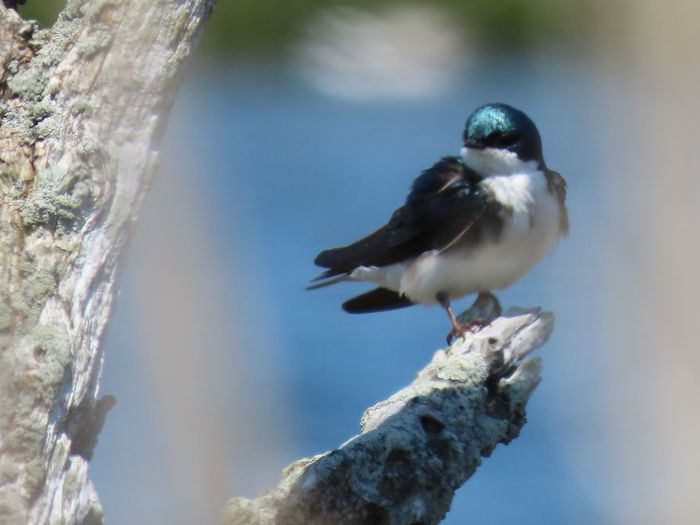 My Best Photo tree tree swallow closeup perched atop a bare tree branch selective focus Bird Animal Themes My Best Photo