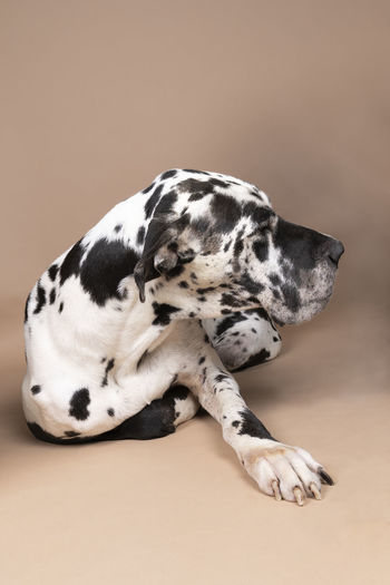 Black and white great dane or german dog the largest dog with harlequin fur lying isolated in beige