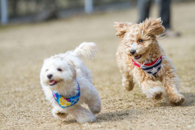 Maltipoo dogs running on field