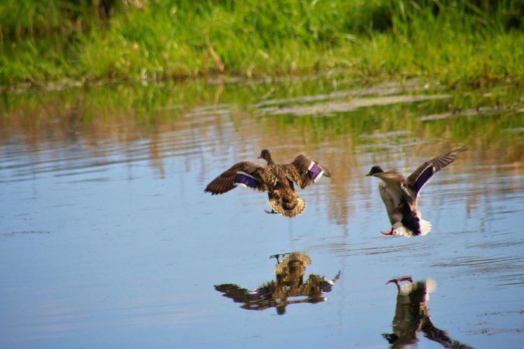 Mallard ducks landing over lake