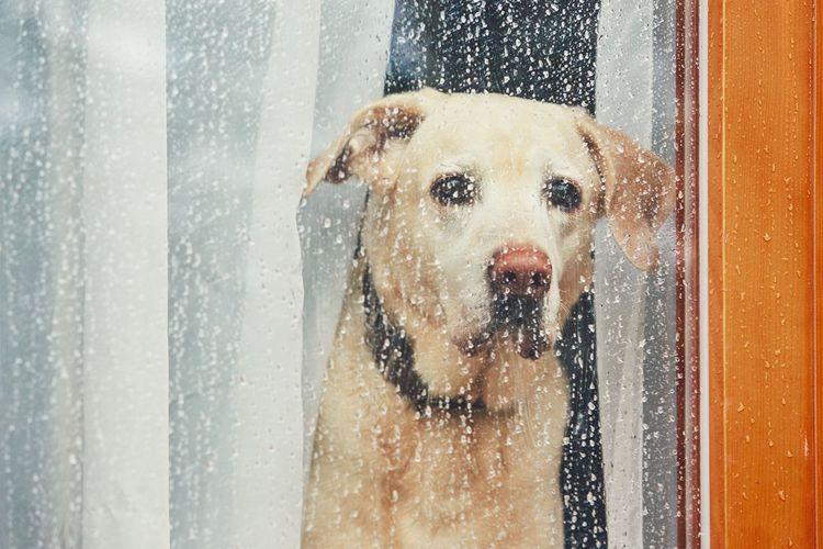 Portrait of wet dog looking through window