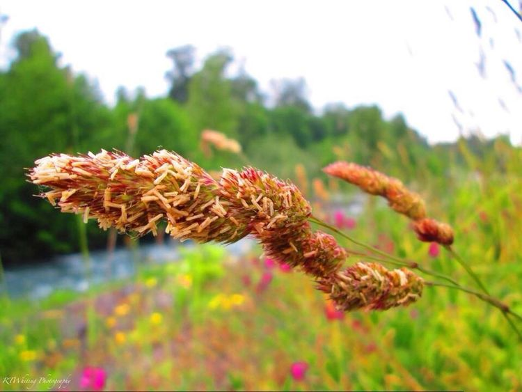 Grass seeds have gotten their color after being baked under hot, sunny days. Nature_collection EyeEm Best Shots - No Edit Streamzoofamily Eye Em Nature Lover