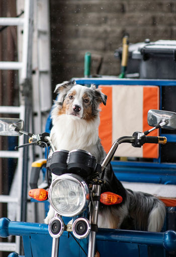Australian shepherd is riding on motorcycle. funny dog. pets acting like human