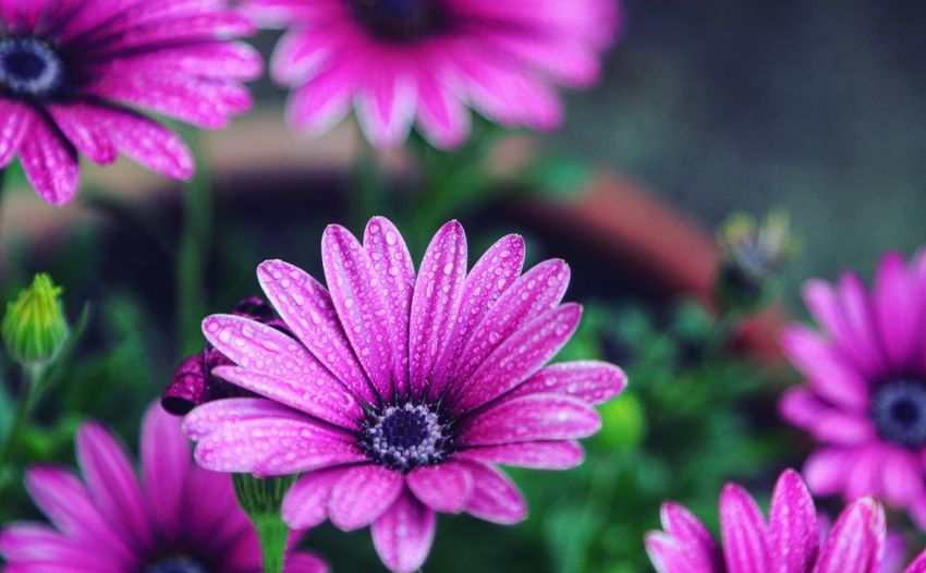 Taking Photos Feeling Creative OpenEdit EyeEm Best Shots Freshness Light And Shadow EyeEm Nature Lover Nature High Angle View Flower Collection Morning Dew Dew Water Droplets Flower Head Flower Petal Flowerbed Close-up In Bloom Blooming Magenta