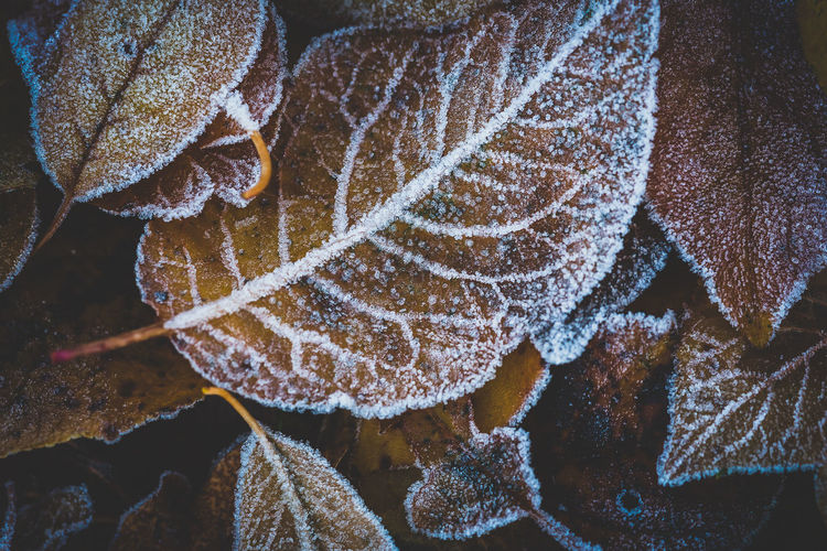 Frozen leaves as close up Close-up Winter Nature Beauty In Nature No People Leaf Frost Cold Temperature Frozen Plant Part Ice Day Growth Water Plant Natural Pattern Outdoors Land Leaves Frozen Background Background Photography Autumn Winter EyeEmNewHere