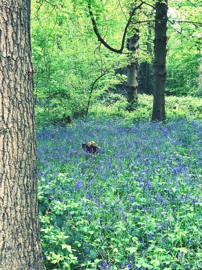Woodland bluebells. Tranquil Scene Tranquility Atmospheric Mood Leaves Branch Wildflowers High Angle View Selective Focus Blue Bluebells Forest Beauty In Nature Full Frame Green Color Backgrounds No People Pattern Day Plant Growth Nature Outdoors Tree Tree Trunk Trunk Close-up Textured