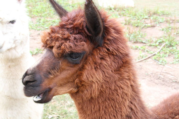 Close-Up Side View Of Lama