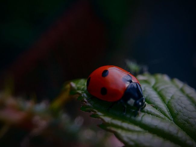 EyeEm Selects Ladybird Insect Ladybug Beetle Invertebrate Animals In The Wild Animal Wildlife Close-up One Animal Animal Themes Spotted Focus On Foreground Red Selective Focus Leaf Ladybird Insect Ladybug Beetle Invertebrate Animals In The Wild Animal Wildlife Close-up One Animal Animal Themes Spotted Focus On Foreground Red Selective Focus Leaf