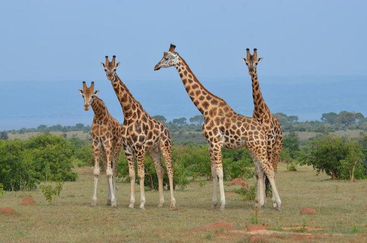 Uganda  Africa Animal Themes Animal Wildlife Animals In The Wild Beauty In Nature Day Full Length Giraffe Grass Landscape Mammal Nature No People Outdoors Safari Animals Standing Tree