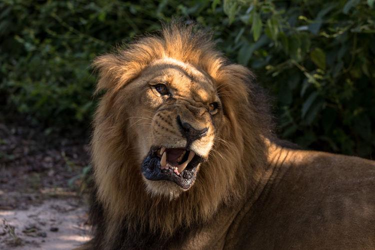 Animal Themes Animal Wildlife Animals In The Wild Close-up Lion Lion - Feline Mammal Nature One Animal