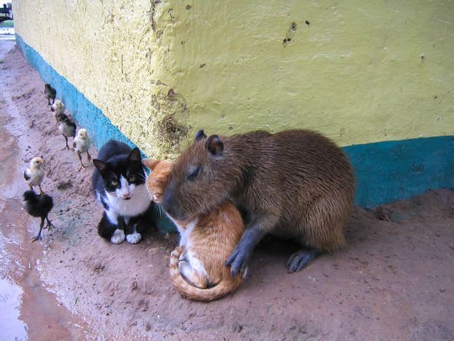 Animals Capibara Cats Chicks Love Hug Equality Mixed Los Llanos