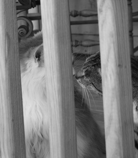 Cats Of EyeEm Maine Coon Cat Pet Photography  Pet Portraits Pets Corner Black And White Photography Calico Cat Cat Beauty Cat Behind Bars Cat Kisses Cat Lovers Cat Photography Cats Dilute Calico Cat Eyes Of A Cat Pets Pets Of Eyeem