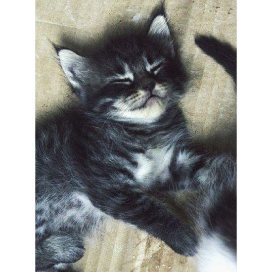 Good night Reo ! Kittensofinstagram Kittiesofinstagram Kitty Kittycat kitten igcats igclubcats jj_justcats instakitten kot kedici kedi neko gato kissa persian catsoftheday meow petphotography pets_perfection kucing cats_of_instagram goodnight