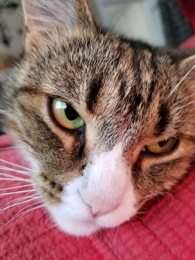 Pets Portrait Looking At Camera Domestic Cat Feline Red Close-up