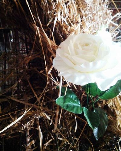 ✳✳✳ Every rose has it's thorn ✳✳✳ Rosé Flowers Thorns Straw Nature Cute Cuteness KAWAII Kawainess Anime Otakugirl Otaku Girly Rosé Goodmorning Ohayo Bomdia Follow Amazing Goodafternoon Konichiwa Boatarde Tumblr Grunge Boho Indie Peace Green Forest Music IgRecommend
