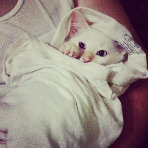 My Furchild likes to be a Purrito Siamese Flamepoint catsofinstagram cute love kitteh