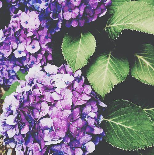 紫陽花2015Photo 紫陽花-hydrangea- 紫陽花 気まぐれ 寒色