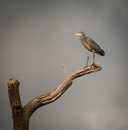 Heron perching on bare tree