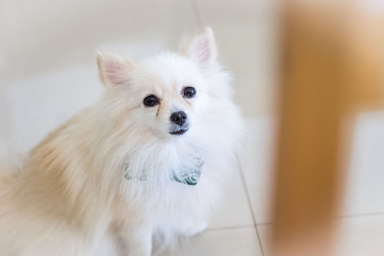 Portrait of white dog at home