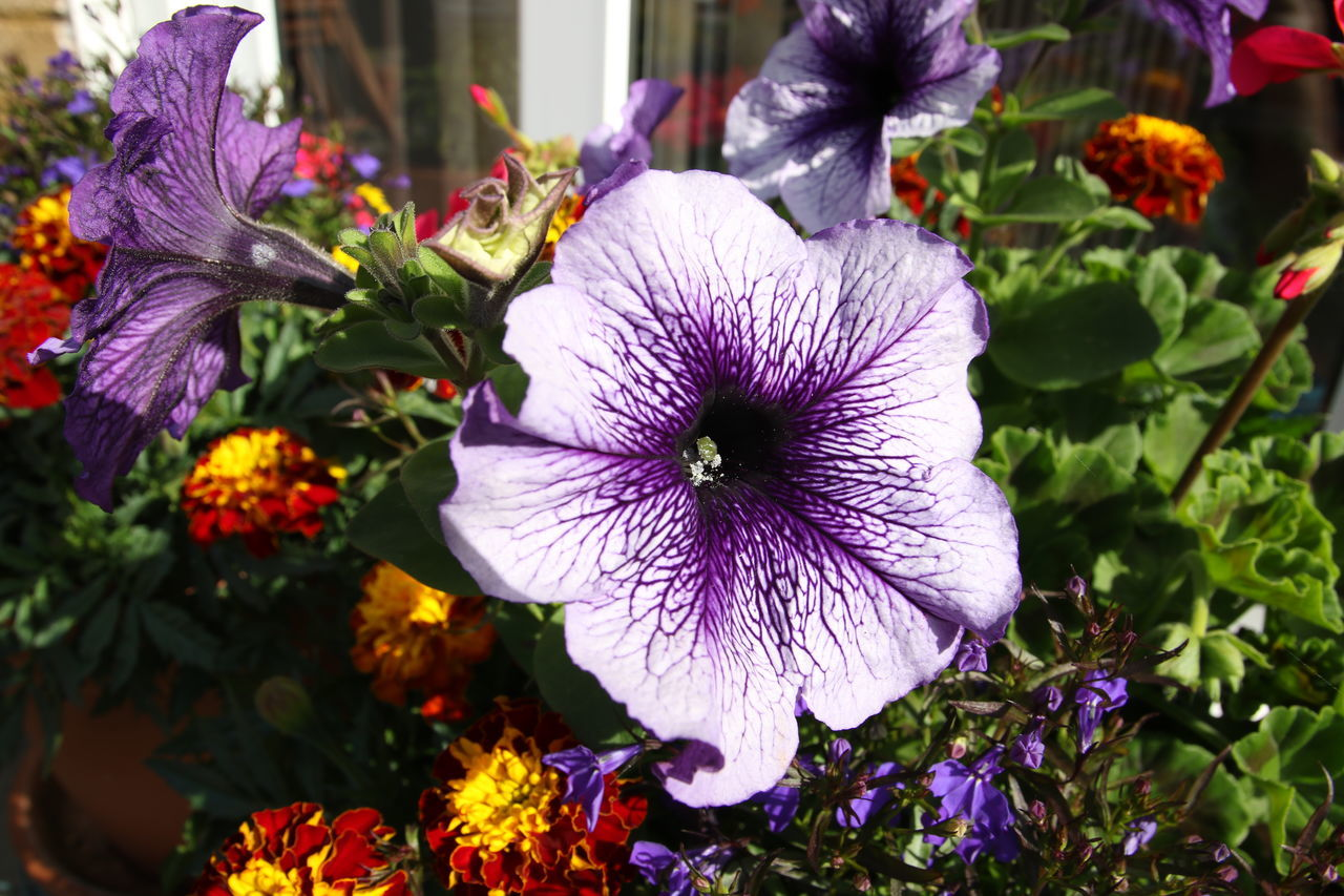 flower, purple, petal, fragility, growth, freshness, beauty in nature, flower head, plant, day, blooming, nature, no people, outdoors, petunia, close-up