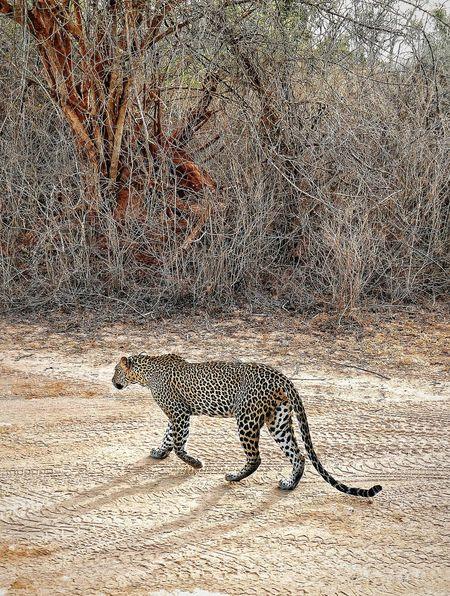 Respiración contenida ... ante tanta belleza. Leopardo Leopard Leopard ' ♥ EyeEm Nature Lover Animal Themes Yala National Park Yalanationalpark Yala National Park Sri Lanka Full Frame Textured  Pattern Close-up