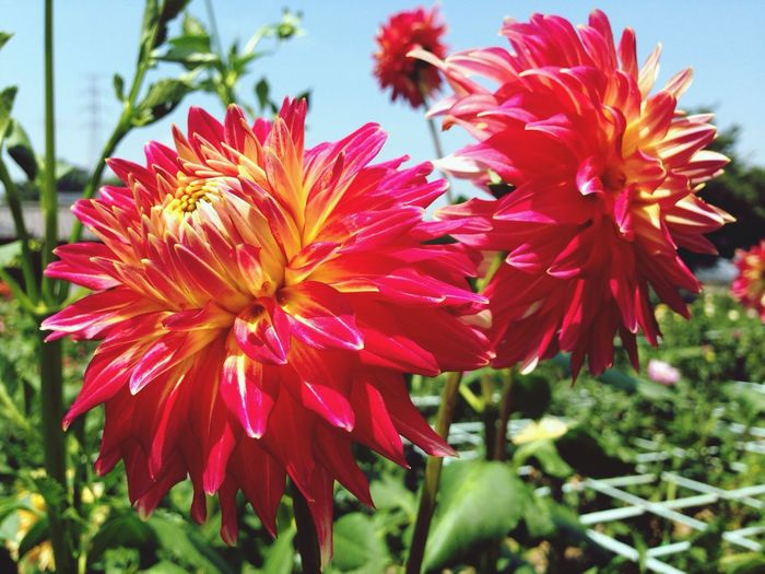 Dahlia it's so hot in Machida today... But dahlias are very beautiful...