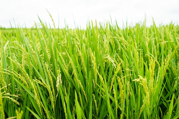 Natural paddy rice Field Nature Paddy Rice Rice Paddy Agriculture Crop  Farm Field Food Green Color Nature Organic Organic Food Plant Rice Field River Staple